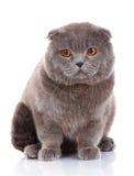 Βρετανικό πορτρέτο γατών Shorthair στο λευκό Στοκ φωτογραφία με δικαίωμα ελεύθερης χρήσης