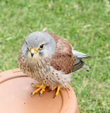 Βρετανικό πουλί γεράκι του θηράματος Στοκ Εικόνες