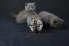 Βρετανικό πλήρες πορτρέτο γατακιών Shorthair Στοκ φωτογραφία με δικαίωμα ελεύθερης χρήσης