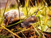 Βρετανικό σαλιγκάρι κήπων στοκ εικόνες με δικαίωμα ελεύθερης χρήσης