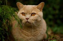 βρετανικό τρίχωμα γατών απότ&o Στοκ εικόνες με δικαίωμα ελεύθερης χρήσης