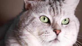βρετανικό τσιντσιλά γατών φιλμ μικρού μήκους
