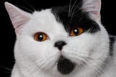 Βρετανικό χρώμα Harlequin γατών στοκ φωτογραφία με δικαίωμα ελεύθερης χρήσης