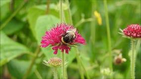 Βρετανικό bumble να ταΐσει νέκταρ εντόμων μελισσών με το λουλούδι άνοιξη απόθεμα βίντεο
