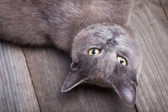 Βρετανοί βάζουν τη γάτα στον μπλε πυροβολισμό στούντιο υποβάθρου Στοκ εικόνες με δικαίωμα ελεύθερης χρήσης