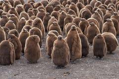 Βρεφικός σταθμός Penguin βασιλιάδων - Νήσοι Φώκλαντ Στοκ Εικόνα