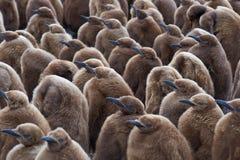 Βρεφικός σταθμός Penguin βασιλιάδων - Νήσοι Φώκλαντ Στοκ Εικόνες