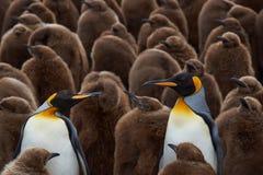 Βρεφικός σταθμός Penguin βασιλιάδων - Νήσοι Φώκλαντ Στοκ Φωτογραφίες