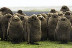 Βρεφικός σταθμός Penguin βασιλιάδων (patagonicus Aptenodytes) μεγάλο καφετί chi Στοκ Φωτογραφία