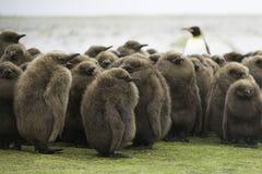 Βρεφικός σταθμός Penguin βασιλιάδων (patagonicus Aptenodytes) με τον ενήλικο βασιλιά μέσα Στοκ Εικόνα