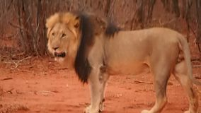 Βροντώντας αλλά θαυμάσιο μαύρο maned αρσενικό λιοντάρι απόθεμα βίντεο