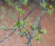 Βροχή άνοιξη στα φύλλα των δέντρων της Apple Στοκ Εικόνες