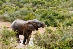 Βροχή - αφρικανικός ελέφαντας του Μπους Στοκ Φωτογραφίες