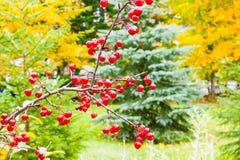 Βροχή Οκτωβρίου σε ένα κόκκινο δασικό μούρο στοκ φωτογραφίες με δικαίωμα ελεύθερης χρήσης