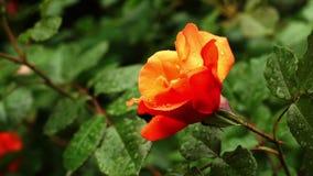 Βροχή που αφορά το πορτοκαλί ροδαλό λουλούδι - κλείστε επάνω απόθεμα βίντεο