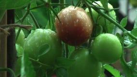 βροχή Πτώσεις βροχής που στάζουν από την ντομάτα απόθεμα βίντεο