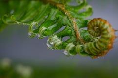 Βροχή σε μια φτέρη Στοκ Εικόνα