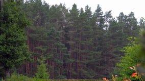 Βροχή στα πλαίσια του βίντεο ξύλου πεύκων 4k απόθεμα βίντεο