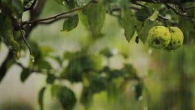Βροχή στον κήπο μήλων επαρχίας, φρούτα που ποτίζει, φρέσκια φυσική διατροφή απόθεμα βίντεο