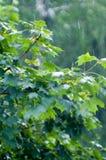 βροχή σφενδάμνου φύλλων κάτω στοκ εικόνες με δικαίωμα ελεύθερης χρήσης