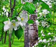βροχερή άνοιξη ανθίζοντας δέντρο κλάδων μ Στοκ εικόνα με δικαίωμα ελεύθερης χρήσης
