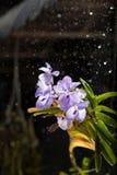 Βροχερή ορχιδέα Στοκ εικόνες με δικαίωμα ελεύθερης χρήσης
