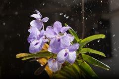 Βροχερή ορχιδέα Στοκ Εικόνα