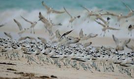 Βροχοπούλια καβουριών που συγκεντρώνονται σε ένα ιδιωτικό νησί Στοκ εικόνα με δικαίωμα ελεύθερης χρήσης