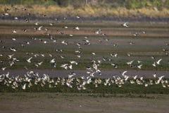 Βροχοπούλι, apricaria Pluvialis Στοκ Φωτογραφίες