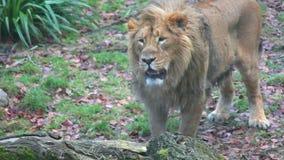 Βρυμένος λιοντάρι απόθεμα βίντεο