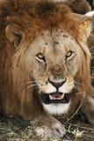 βρυμένος λιοντάρι με να κοιτάξει επίμονα το λούστρο Στοκ Εικόνες