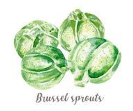 Βρυξέλλες - απεικόνιση νεαρών βλαστών Συρμένο χέρι watercolor στο άσπρο υπόβαθρο Στοκ εικόνες με δικαίωμα ελεύθερης χρήσης