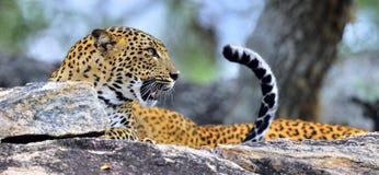 Βρυχηθμός λεοπαρδάλεων Το θηλυκό kotiya pardus Panthera λεοπαρδάλεων Sri Lankan στοκ φωτογραφίες