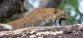 Βρυχηθμός λεοπαρδάλεων Το θηλυκό kotiya pardus Panthera λεοπαρδάλεων Sri Lankan στοκ εικόνα με δικαίωμα ελεύθερης χρήσης