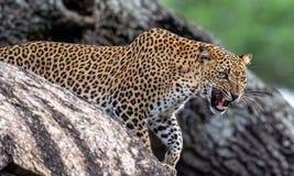 Βρυχηθμός λεοπαρδάλεων Το θηλυκό kotiya pardus Panthera λεοπαρδάλεων Sri Lankan στοκ εικόνες με δικαίωμα ελεύθερης χρήσης