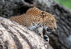 Βρυχηθμός λεοπαρδάλεων Το θηλυκό kotiya pardus Panthera λεοπαρδάλεων Sri Lankan στοκ εικόνα