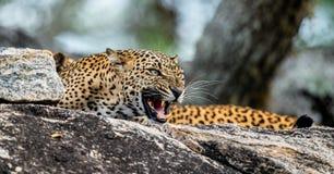 Βρυχηθμός λεοπαρδάλεων Το θηλυκό kotiya pardus Panthera λεοπαρδάλεων Sri Lankan στοκ εικόνες