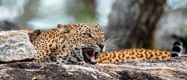 Βρυχηθμός λεοπαρδάλεων Το θηλυκό kotiya pardus Panthera λεοπαρδάλεων Sri Lankan στοκ φωτογραφία με δικαίωμα ελεύθερης χρήσης