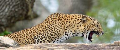 Βρυχηθμός λεοπαρδάλεων Το θηλυκό λεοπαρδάλεων Sri Lankan στοκ εικόνα με δικαίωμα ελεύθερης χρήσης