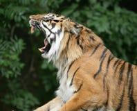 Βρυχηθμός τιγρών Στοκ Εικόνες