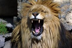 βρυχηθμός s λιονταριών Στοκ φωτογραφία με δικαίωμα ελεύθερης χρήσης