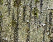 βρύα κερασιών φλοιών Στοκ Φωτογραφίες