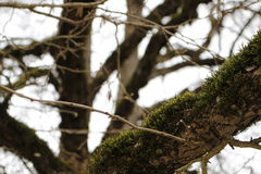 Βρύο δέντρων Στοκ Εικόνα