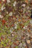 Βρύο λειχήνων στη σύσταση βράχου ασβεστόλιθων στην Ισπανία Στοκ Εικόνες