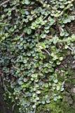 Βρύο και αναρριχητικό φυτό Στοκ εικόνες με δικαίωμα ελεύθερης χρήσης