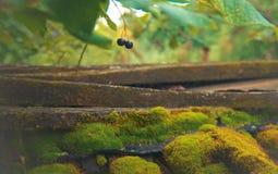 Βρύο και μούρα στον κήπο στοκ εικόνες