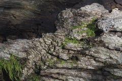 Βρύο και φλοιός στο πεσμένο δέντρο Στοκ φωτογραφία με δικαίωμα ελεύθερης χρήσης