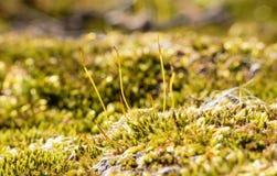 Βρύο-καλυμμένες πέτρες Στοκ Εικόνες