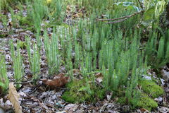 Βρύο, κοινότητα Polytrichum Στοκ Φωτογραφίες