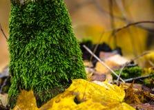 Βρύο λειχήνων στον κορμό δέντρων και στο έδαφος με τα φύλλα φθινοπώρου που συσσωρεύονται γύρω Στοκ εικόνες με δικαίωμα ελεύθερης χρήσης